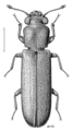 COLE Bostrichidae Lyctus brunneus.png