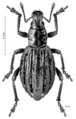 COLE Curculionidae Heterexis seticostatus.png