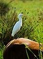 Caballos y garcillas bueyeras 05 - Flickr - ferran pestaña.jpg