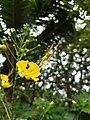 Caesalpinia pulcherrima, (yellow) Pride of Barbados, Settimandaram 2.jpg