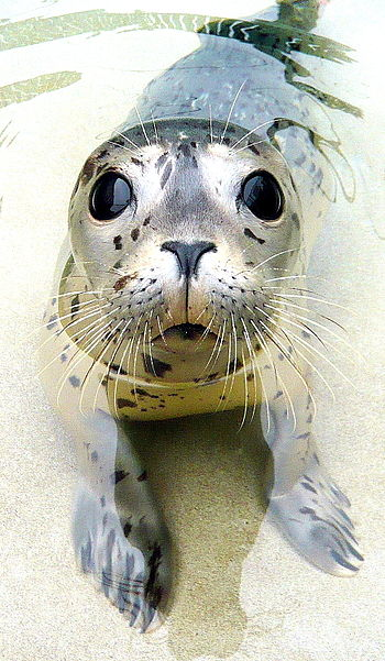 English: Harbor Seal pup at the Marine Mammal ...