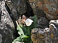 Calla Lilly growing among the rocks on the shore of Hermanus (42940892010).jpg