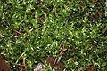 Calliergon cordifolium (b, 143546-474635) 6373.JPG