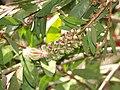 Callistemon citrinus inicio floración.JPG