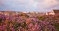 Calluna vulgaris 3.jpg