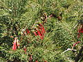 Calothamnus sanguineus (leaves).JPG