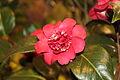 Camellia japonica 'April Kiss'.jpg
