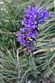 Campanula sp. Campanulaceae 06.jpg