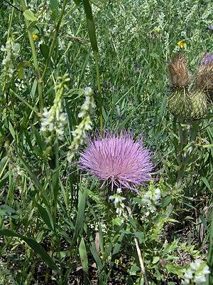 Flora of Saskatchewan - Canada thistle