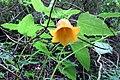 Canarina canariensis 01 ts.jpg