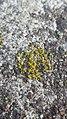 Candelariella aurella 57286654.jpg