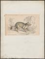 Canis acmon - 1833-1866 - Print - Iconographia Zoologica - Special Collections University of Amsterdam - UBA01 IZ22200123.tif