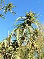 Cannabis plant2.jpg