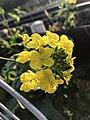 Canola flowers 20190217-2.jpg