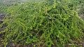 Canthium coromandelicum.jpg