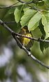Cape May Warbler (6048494764).jpg