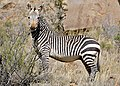 Cape Mountain Zebra (Equus zebra zebra) (32549960485).jpg