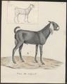 Capra aegagrus - 1700-1880 - Print - Iconographia Zoologica - Special Collections University of Amsterdam - UBA01 IZ21300267.tif