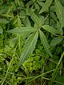 Cardamine bulbifera 004.jpg