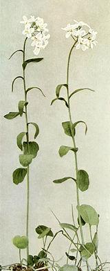 Cardamine bulbosa WFNY-090A.jpg
