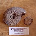 Cardioceratidae - Cardioceras persecans.JPG