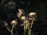 Carduelis-carduelis-European-Goldfinch-0a.jpg