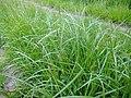Carex hirta plant (04).jpg