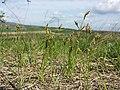 Carex praecox sl9.jpg