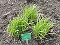 Carex shortiana - Copenhagen Botanical Garden - DSC07937.JPG