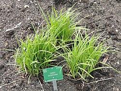 Carex shortiana - Copenhagen Botanical Garden - DSC07937.JPG