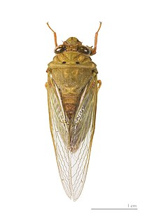 Cicadettinae Subfamily of insects