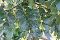 Cassia x javanica 1zz.jpg