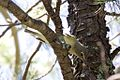 Cassin's Vireo - Cave Creek - AZ - 2015-08-26at11-14-291 (21646636061).jpg