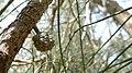 Casuarina glauca cone (16001867281).jpg