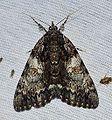 Catocala palaeogama (Oldwife Underwing Moth) (14593430586).jpg