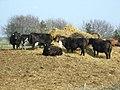 Cattle - geograph.org.uk - 384900.jpg