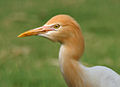 Cattle Egret (Bubulcus ibis) in Hyderabad W2 IMG 8254.jpg