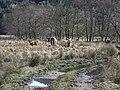 Cattle beside the River Goil - geograph.org.uk - 150665.jpg