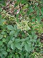 Cayratia japonica1.jpg