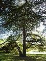 Cedrus atlantica (Pinaceae) (tree).JPG