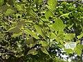Celtis reticulata.jpg