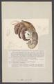 Cenobita perlata - - Print - Iconographia Zoologica - Special Collections University of Amsterdam - UBAINV0274 006 02 0006.tif