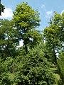 Central Park, tall tree in Gyömrő, Pest County, Hungary.jpg