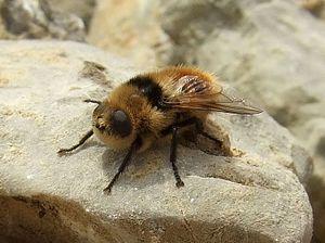 Botfly - Deer bot fly (Cephenemyia stimulator)