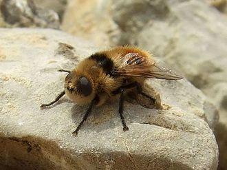 Botfly - Deer botfly (Cephenemyia stimulator)