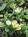 Cerastium semidecandrum 67941981.jpg