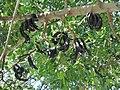 Ceratonia siliqua Keciboynuzu 1370985 Nevit.jpg