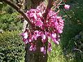 Cercis siliquastrum flowers4.jpg