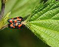 Cercopidae sp.jpg