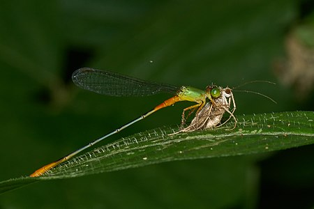 Ceriagrion cerinorubellum with prey